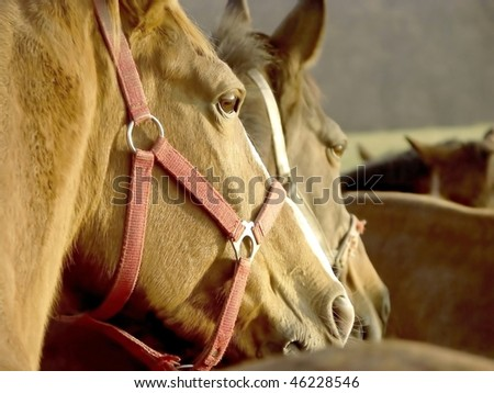 Heads of the horses looking at other horses running around the pasture. - stock photo