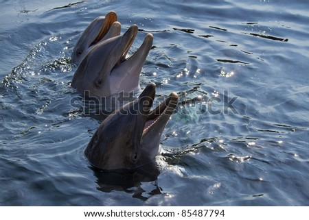 Heads of three Bottlenose dolphins or Tursiops truncatus above the water surface - stock photo