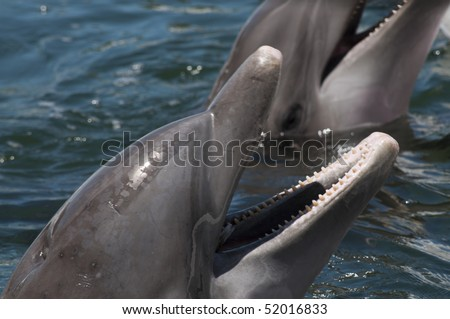 Heads of two bottlenose dolphins with open mouth above the water - stock photo