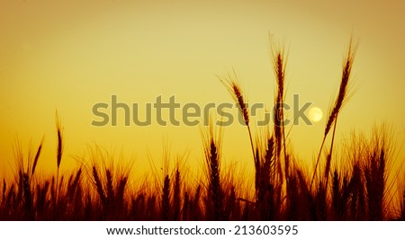 Heads of wheat against an evening sky with vintage like processing
