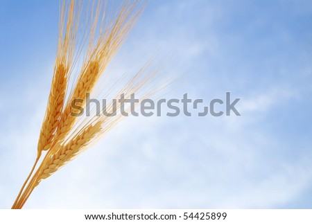 Heads of wheat against the sky - stock photo