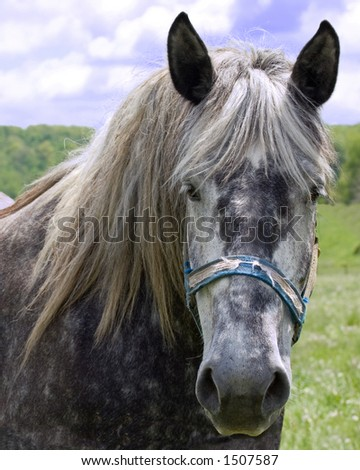 Headshot of a beautiful grey spotted horse standing in a field.