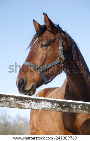 Headshot of a beautiful thoroughbred horse in winter pinfold under blue sky rural scene - stock photo