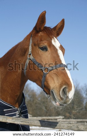 Headshot of a beautiful thoroughbred horse in winter pinfold under blue skye - stock photo