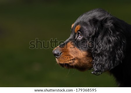 Headshot of a Gordon setter puppy dog, against a green background, with the little dog cutely looking to the other end of the image leaving room for copy space - stock photo