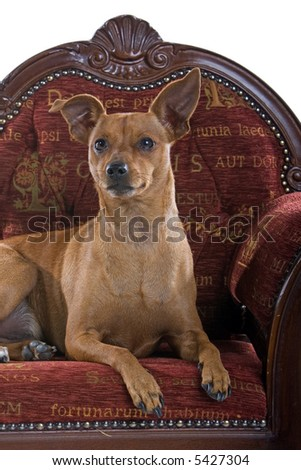headshot of a mixed breed Pinscher dog laying down on a red barok couch - stock photo