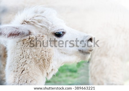 Headshot of An Adult Llama (Lama), close up - stock photo