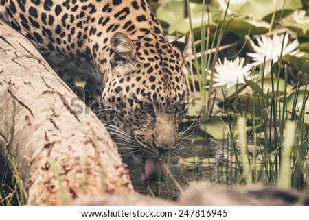 Headshot of leopard drinking from pool. Tenikwa wildlife sanctuary. Plettenberg Bay. South Africa. - stock photo