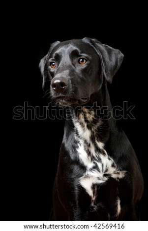 Headshot of mixed breed Dalmation, Black Labrador - stock photo