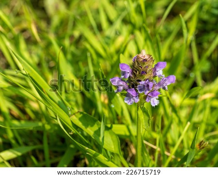 Heal All flower / Selfheal - Prunella vulgaris - stock photo