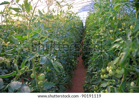 healh vegetable in the wide glass greenhouse - stock photo