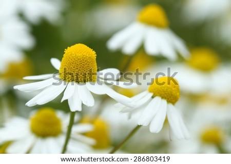 Healing chamomile - stock photo