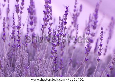 Healing Lavender Plants ready to pick