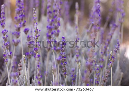 Healing Lavender Plants ready to pick - stock photo