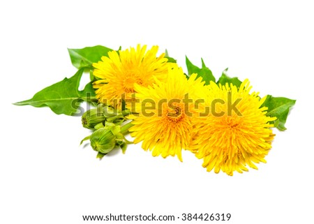 Healing plants. Dandelion isolated on white background