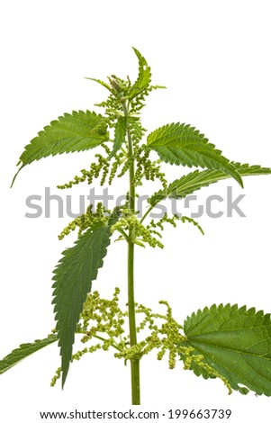 Healing plants: Stinging nettle (Urtica dioica) plant isolated on white background - stock photo