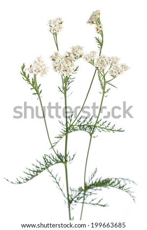 healing plants: Yarrow (Achillea millefolium) - leaves and flowers in front of white background - stock photo