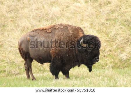 Healthy adult American buffalo on the grasslands of South Dakota - stock photo