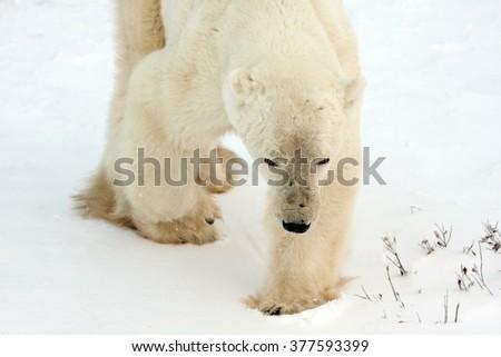 Healthy adult polar bear near Churchill, on Hudson Bay, Canada. - stock photo