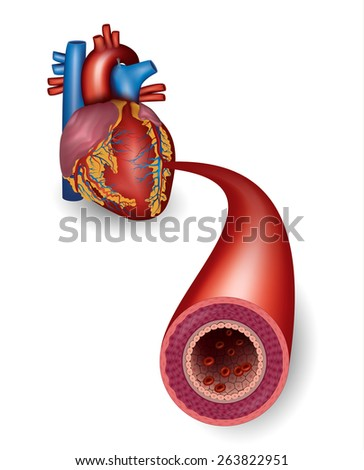 Healthy artery and heart anatomy - stock photo