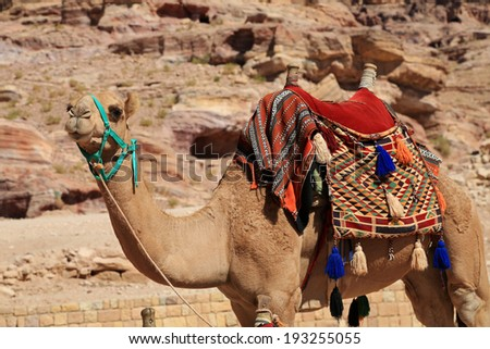Healthy camel in Petra, waiting to give a tourist a ride - stock photo