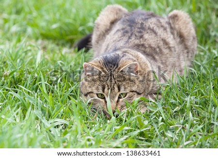 Healthy Cat playing in the green grass