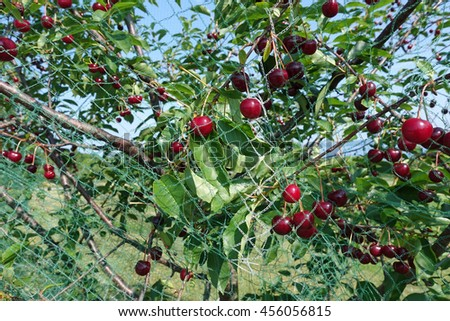 Healthy cherry trees with fruit, and netting to protect from birds.