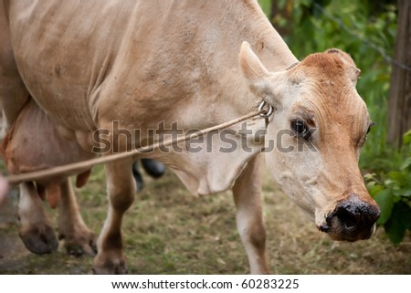 Healthy cow on Costa Rican dairy farm - stock photo