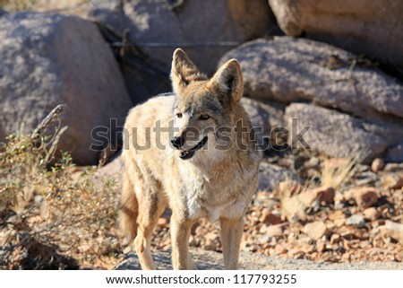 Healthy coyote in the desert - stock photo