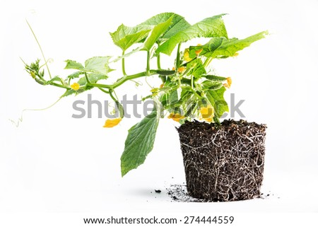healthy development of roots and above-ground parts of the plant cucumber soil on white background.