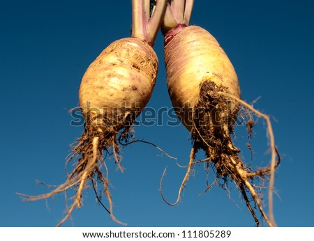 Healthy food Organic swedes rutabaga freshly picked edible vegetable against blue sky background - stock photo