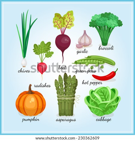 Healthy fresh vegetables icons with names including  chives  radish  garlic  broccoli  pumpkin  asparagus and cabbage  colored illustrations - stock photo