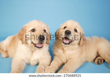healthy golden /  puppy golden  / sweet dream / dreaming dog - stock photo