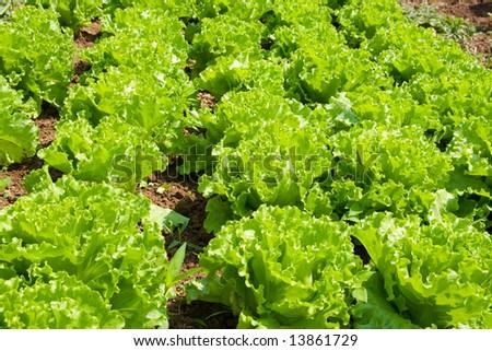 Healthy home lettuce in rows in garden. - stock photo