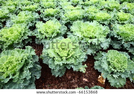 Healthy home lettuce in rows in garden. - stock photo
