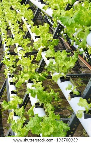 Healthy hydroponic lettuce - stock photo