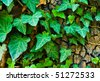 Healthy ivy - stock photo