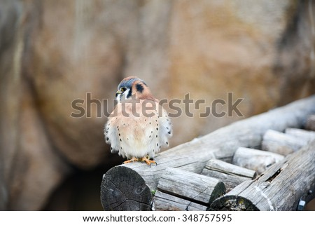 Healthy kestral spotted in the mountains of Colorado - stock photo