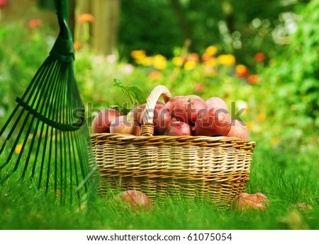 Healthy Organic Apples in the Basket. - stock photo