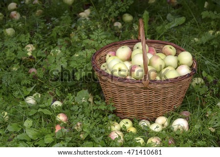 Healthy Organic Apples in the Basket in the garden