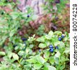 Healthy organic food - wild blueberries (Vaccinium myrtillus) growing in forest - stock photo