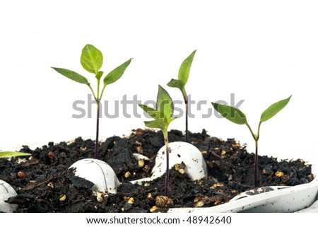 Healthy pepper seedlings in an egg crate, ready for spring planting. High key image with white background. - stock photo