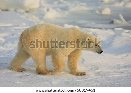 Healthy polar bear in the arctic, near Hudson Bay in Canada, searching for food - stock photo