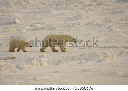 Healthy polar bear mother and cub walking on the arctic snow in search of food along Hudson Bay in Canada - stock photo