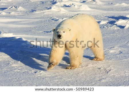 Healthy polar bear strut walking on the arctic tundra in late afternoon - stock photo