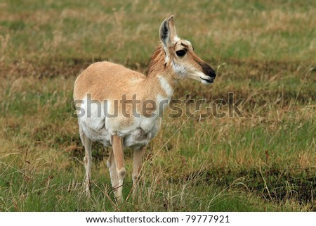 Healthy pronghorn deer on the plains of the American West - stock photo
