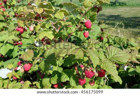 Healthy raspberry plants with ripe fruit ready to be picked.
