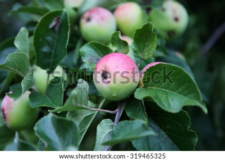 Healthy red apples on a tree surrounded by green leaves - stock photo