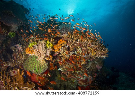 Healthy reef with bunch of corals and anthias fishes. Indonesia.