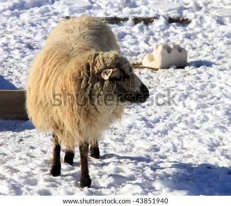 Healthy sheep on snow